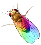 Gayfly with Rainbow Gene